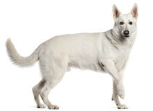White Swiss Shepherd Dog, standing Stock Photo