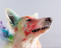 The White Swiss Shepherd dog in a studio. Royalty Free Stock Images
