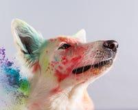 The White Swiss Shepherd dog in a studio. Stock Photo