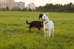 White Swiss Shepherd Stock Image