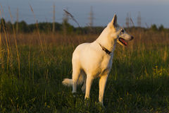 White Swiss Shepherd Royalty Free Stock Image