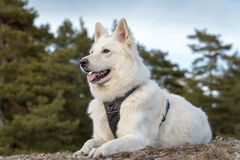 White swiss shepherd. In the forest Stock Images