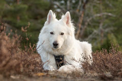 White swiss shepherd. In the forest Stock Photography