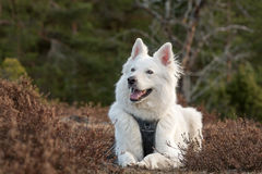 White swiss shepherd. In the forest Royalty Free Stock Photo