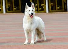 White Swiss Shepherd full face. Stock Photo