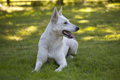 White Swiss Shepherd Stock Photos