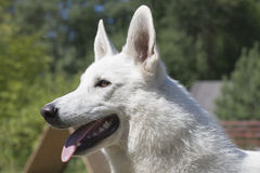 White Swiss Shepherd Stock Images