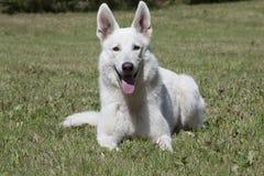 White Swiss Shepherd Stock Image