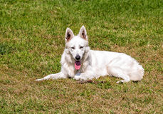 White Swiss Shepherd lying down on the grass Royalty Free Stock Photos
