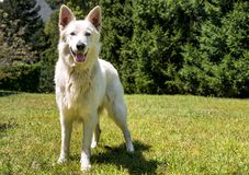 White Swiss Shepherd outdoor in the field Stock Images