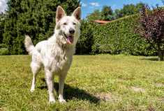 White Swiss Shepherd outdoor in the field Royalty Free Stock Photography