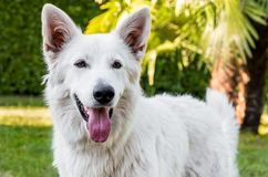 White Swiss Shepherd outdoor portrait Stock Image