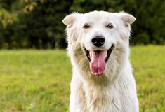 White Swiss Shepherd outdoor portrait Royalty Free Stock Photo