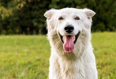 White Swiss Shepherd outdoor portrait royalty free stock photo