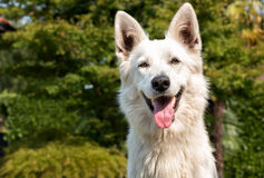 White Swiss Shepherd outdoor portrait stock photography
