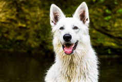 White Swiss Shepherd outdoor portrait. Stock Photos