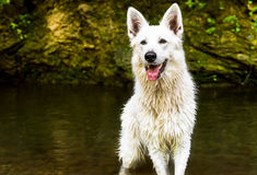 White Swiss Shepherd outdoor. Royalty Free Stock Images