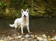 White Swiss Shepherd outdoor. Royalty Free Stock Photo