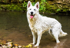 White Swiss Shepherd outdoor. Stock Photography
