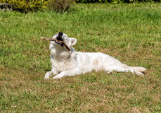 White Swiss Shepherd plays with stick. Royalty Free Stock Photo