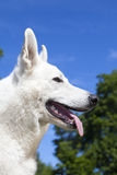 White Swiss Shepherd Royalty Free Stock Photos