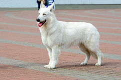 White Swiss Shepherd in profile. Royalty Free Stock Images