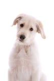 White swiss shepherd pup Royalty Free Stock Photo