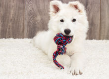 White Swiss Shepherd puppy Royalty Free Stock Photography