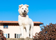 White Swiss Shepherd puppy. Royalty Free Stock Photography