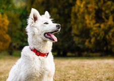 White Swiss Shepherd puppy Stock Photos
