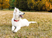 White Swiss Shepherd puppy Stock Photography
