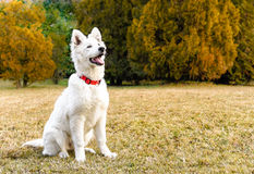 White Swiss Shepherd puppy Stock Image
