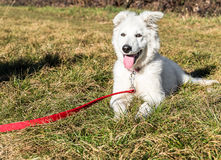 White Swiss Shepherd puppy. Stock Image