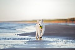 White swiss shepherd puppy playing on the beach Royalty Free Stock Images