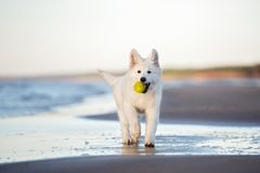 White swiss shepherd puppy playing on the beach Stock Photo