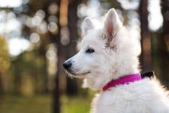 White swiss shepherd puppy posing outdoors Stock Image