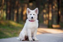 White swiss shepherd puppy posing outdoors Stock Images
