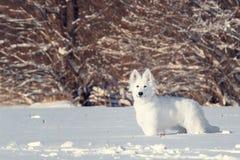 White Swiss Shepherd puppy Stock Photography
