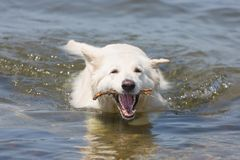 White swiss shepherd retrieving branch out of the water Stock Photo