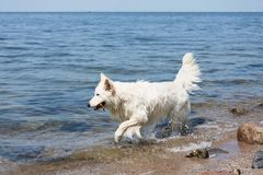 White swiss shepherd retrieving a cane out of the water Stock Photo