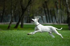 White swiss shepherd running in spring field Stock Photography