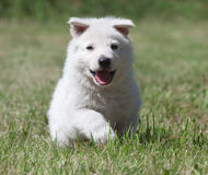 White Swiss Shepherd`s puppy Royalty Free Stock Photography