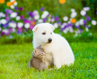 White Swiss Shepherd`s puppy embracing kitten on green grass Royalty Free Stock Photo