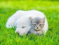 White Swiss Shepherd`s puppy hugging kitten on green grass Royalty Free Stock Image