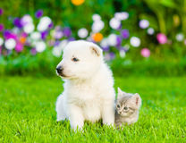 White Swiss Shepherd`s puppy and kitten sitting on green grass i Stock Image