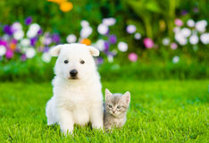 White Swiss Shepherd`s puppy and kitten sitting together on gree Royalty Free Stock Photo