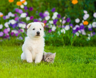 White Swiss Shepherd`s puppy and kitten sitting together on green grass.  Royalty Free Stock Images