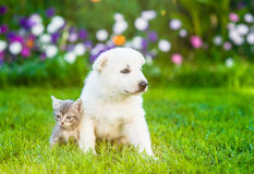White Swiss Shepherd`s puppy and kitten sitting together on green grass.  Royalty Free Stock Image