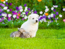 White Swiss Shepherd`s puppy and kittens sitting together on green grass.  Royalty Free Stock Photo