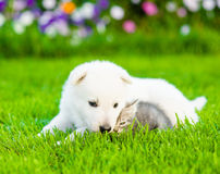 White Swiss Shepherd`s puppy lying with kitten on summer grass Stock Photos
